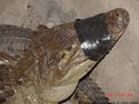 Caiman, Caiman crocodilus