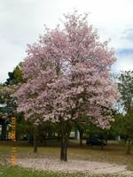 Árbol Portada