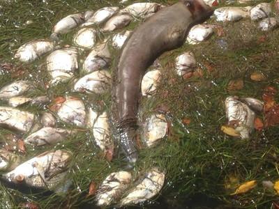 Mortandad de peces en laguna bioluminiscente de Fajardo