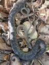 Daños a la flora y fauna, culebras nativas muertas