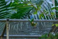 DRNA libera 15 cotorras puertorriqueñas a la vida silvestre