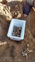 DRNA reporta el primer nido de tinglar en la playa de Isla Verde