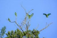 Logran importante traslado de cotorras puertorriqueñas al Bosque estatal de Maricao