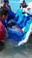 Ciudadanía y agencias salvan dos ballenas varadas en playa de Aguadilla, muere una crí