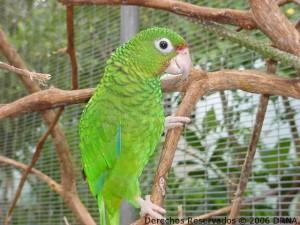Cotorra puertorriqueña, Amazona vittata vittata