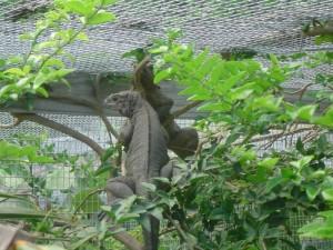 Iguanas en jaulas del criadero localizado en la Isla de Mona.