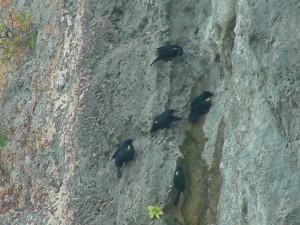 mariquitas en acantilado Isla de Mona