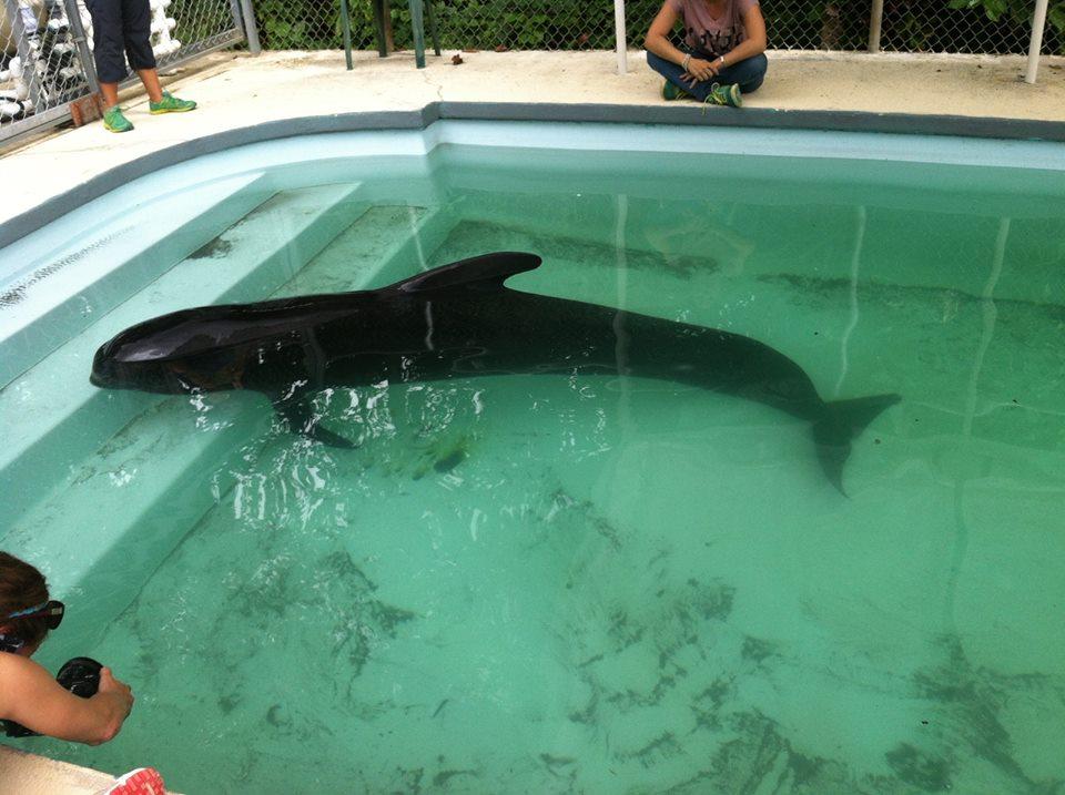 La ballena piloto fue rescatada y se espera que pueda recuperarse.