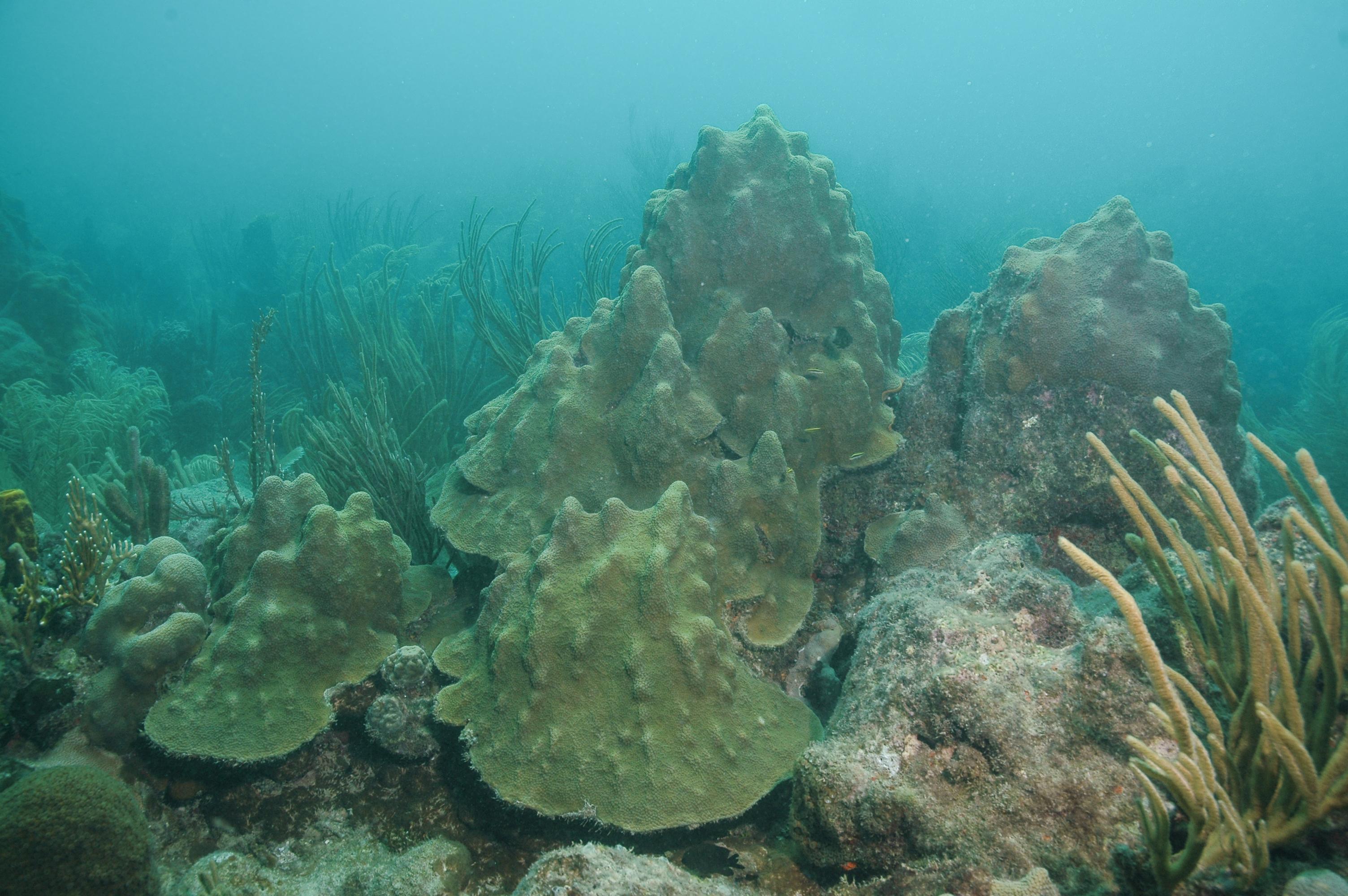 Orbicella faveolata (Coral estrella laminar)