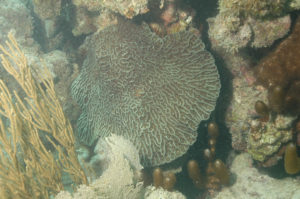 Mycetophyllia ferox