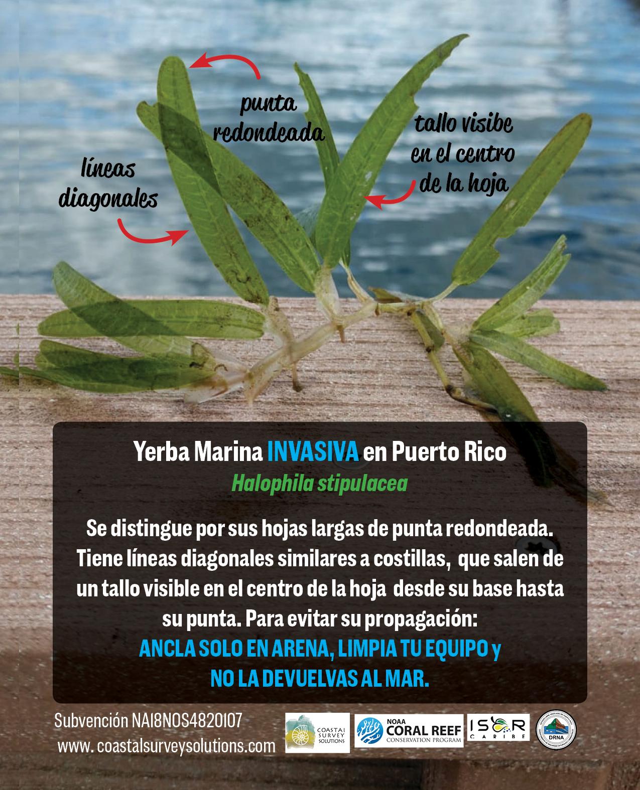 Hierba invasiva Halophila stipulacea- flash card espanol