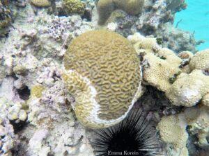 Enfermedad de Pérdida de Tejido en Corales Duros (SCTLD)